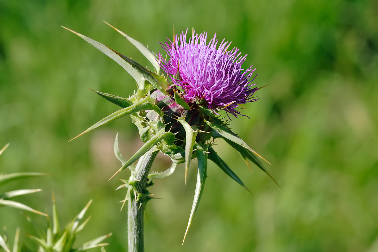 sharp & pointy thistle plants