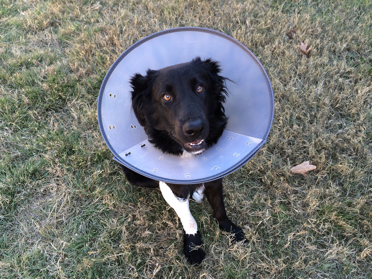 dog in Elizabethan cone collar