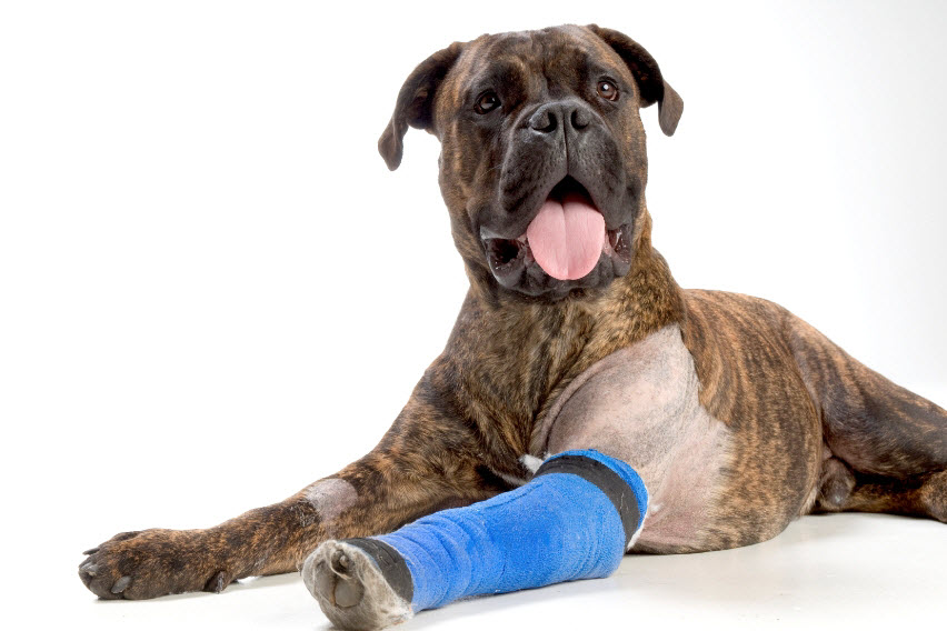 dog with cast on arm