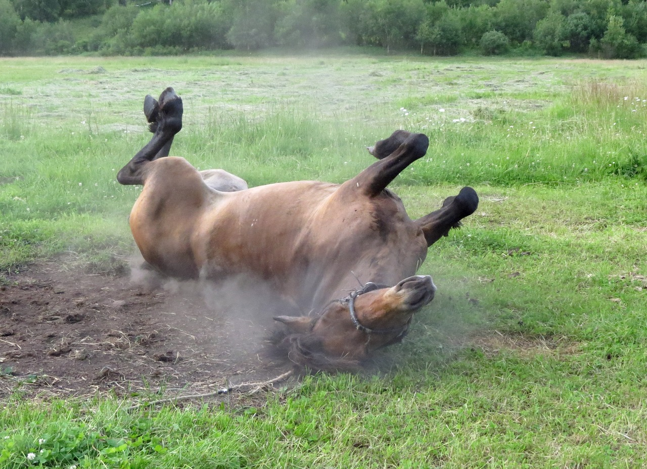 horse rolling in dirt in the heat