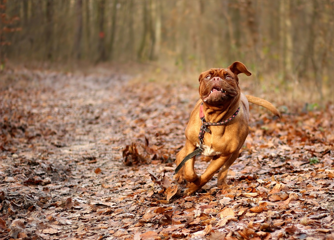 wild-looking dog with crazy face runs through woods