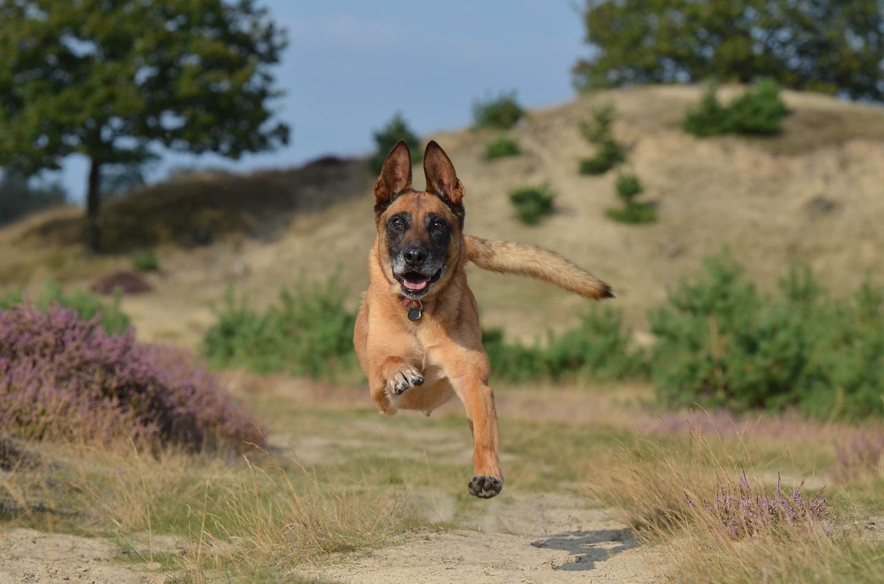 healthy German sheaperd runs on trail