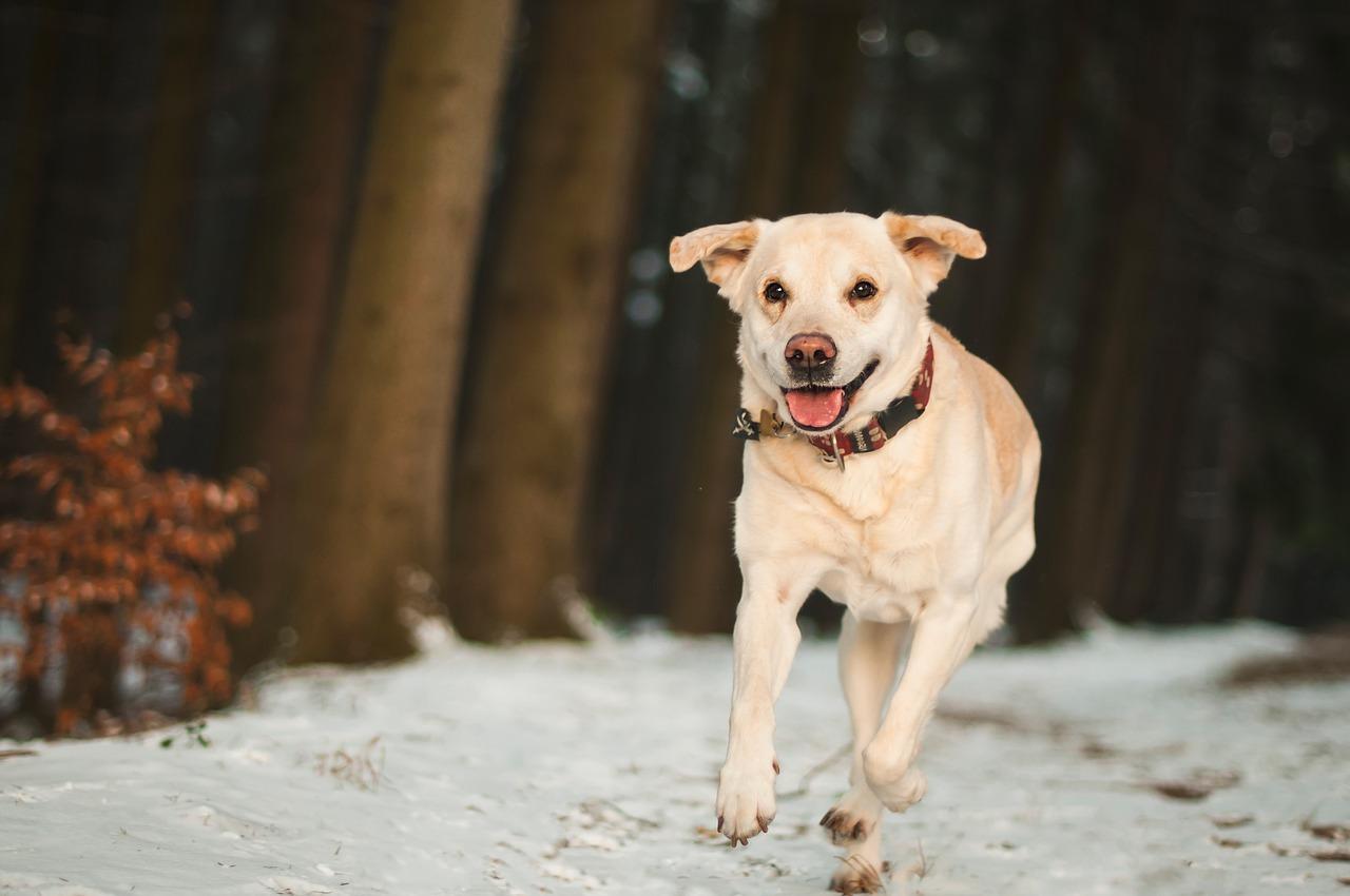 older dog runs through snowy woods
