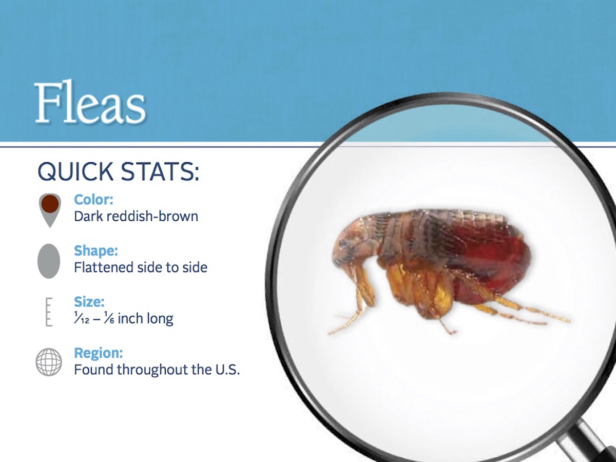 flea stats with closeup