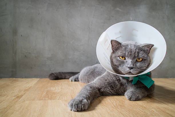 cat with elizabethan collar cone