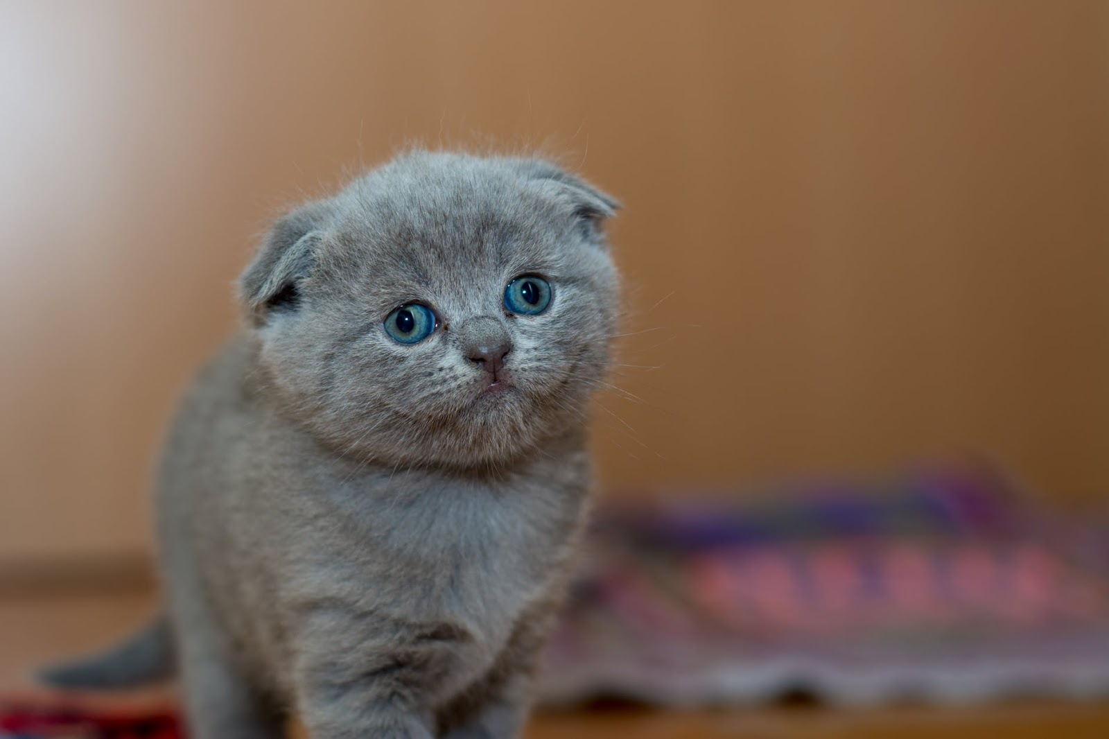 cute silver gray kitten