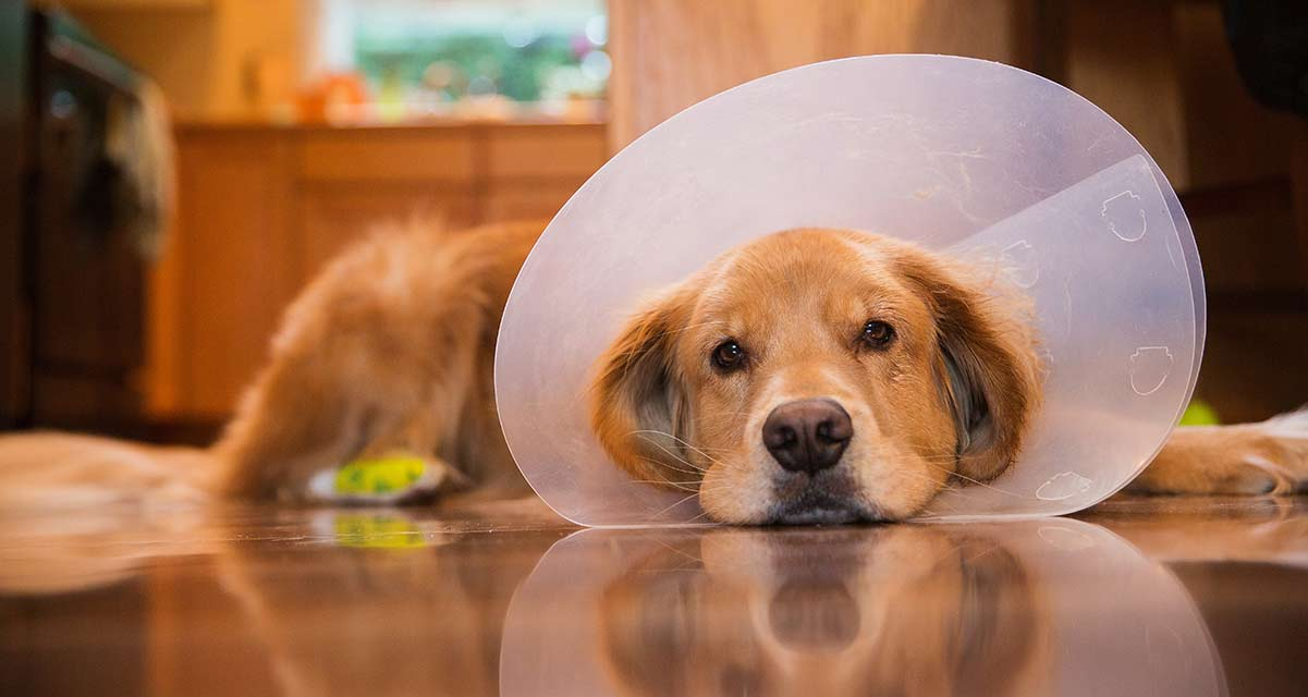 dog laying with elizabethan collar cone on