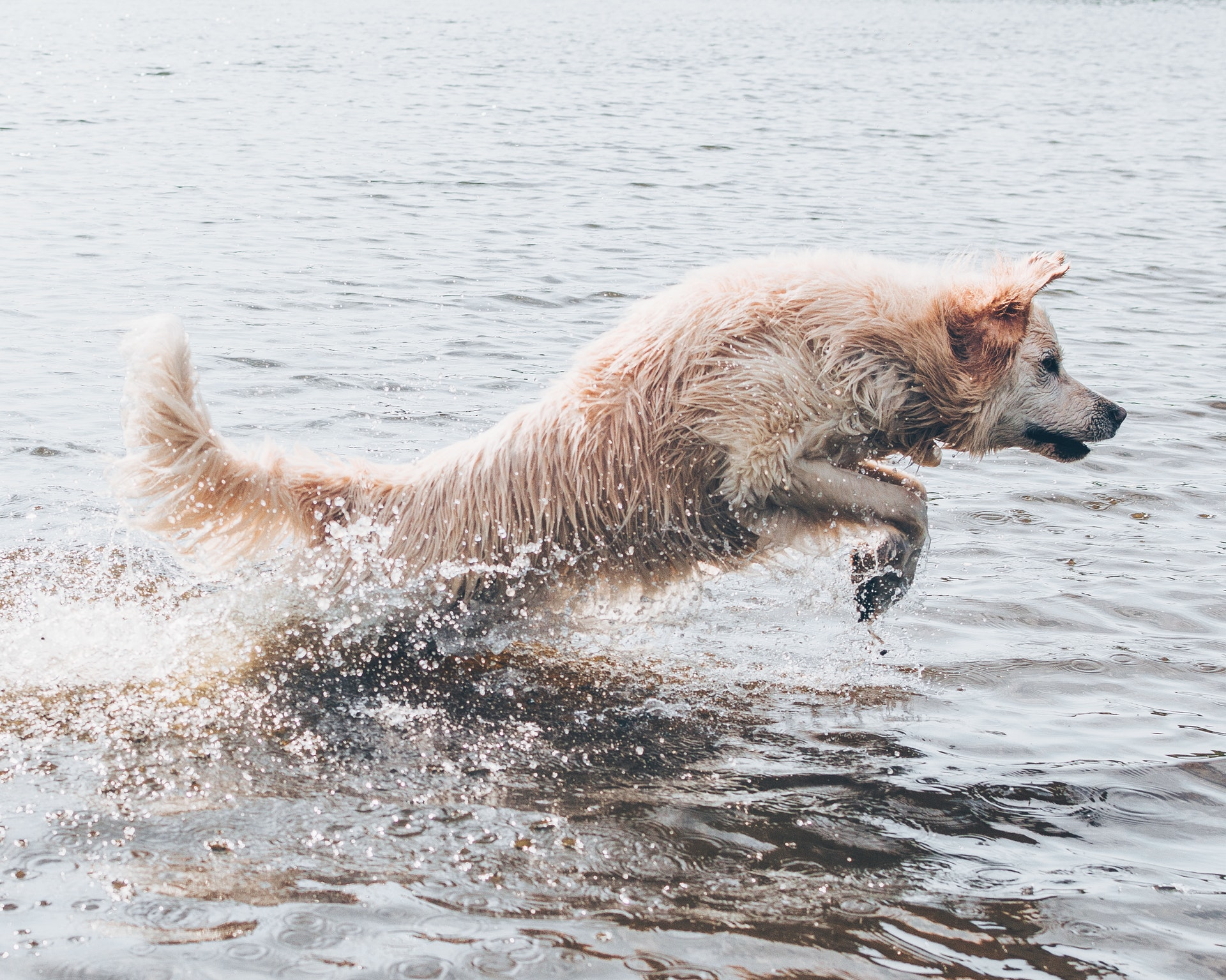 dog leaping through ocean