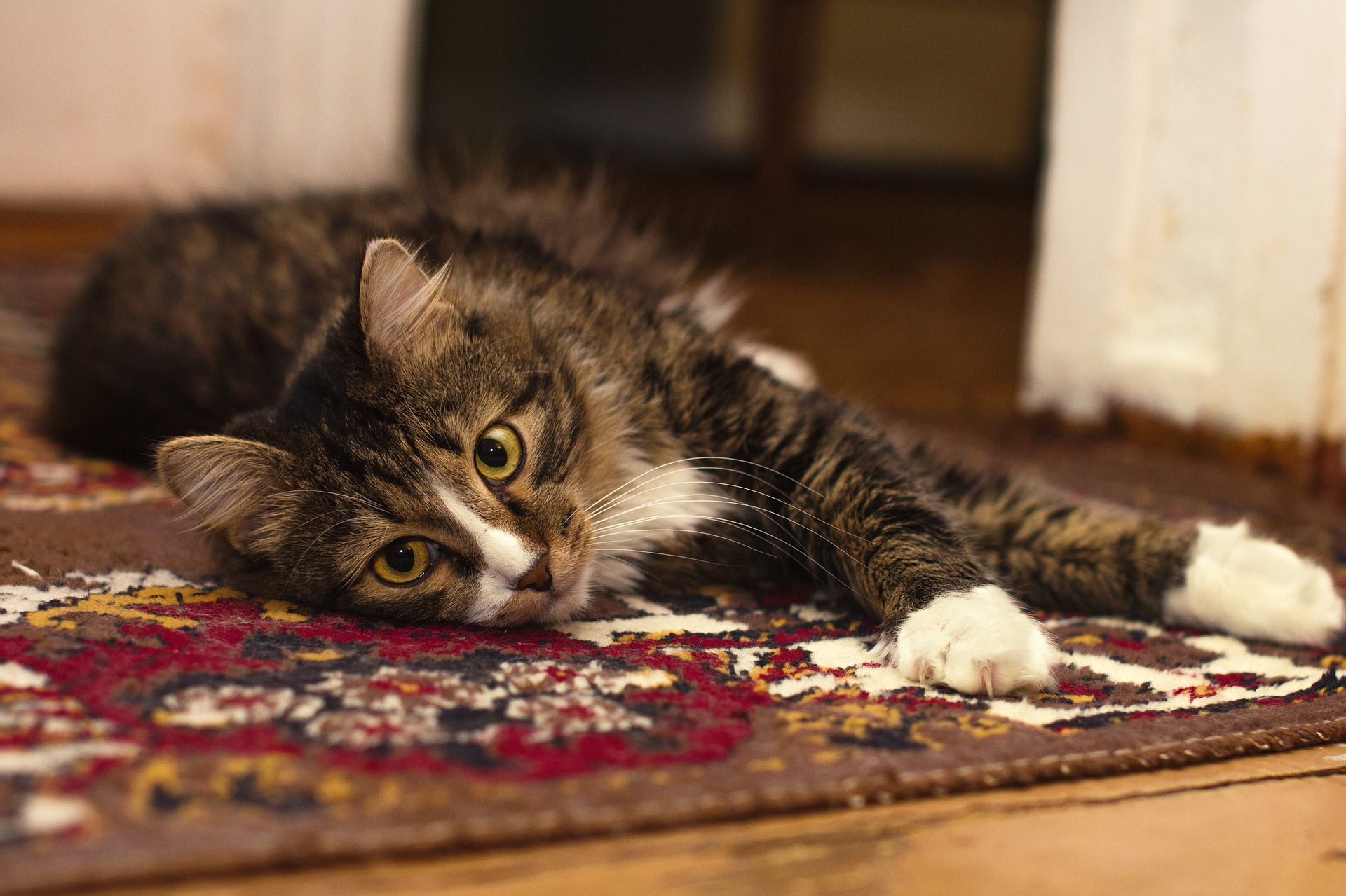 cat laying on a rug