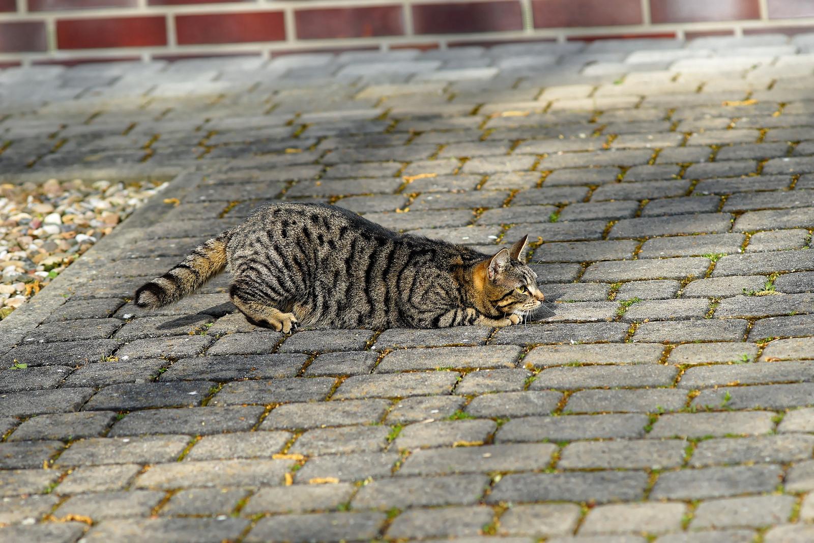 cat stalking outside