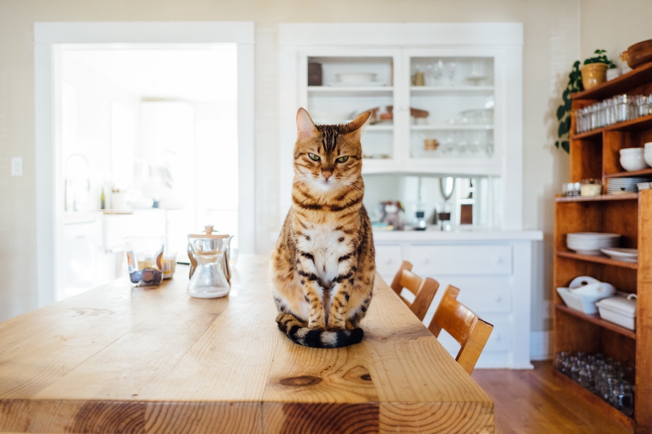 cat on table with angry expression