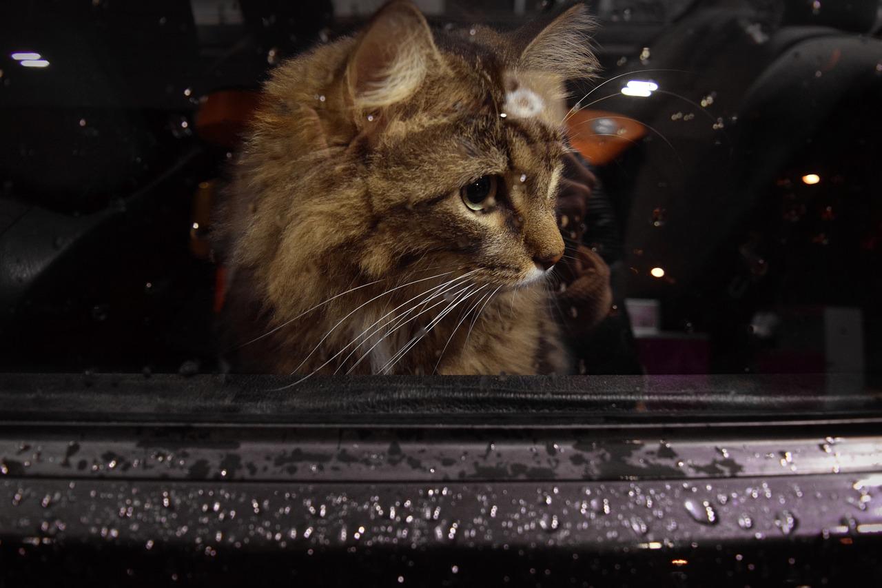 cat looking through car window