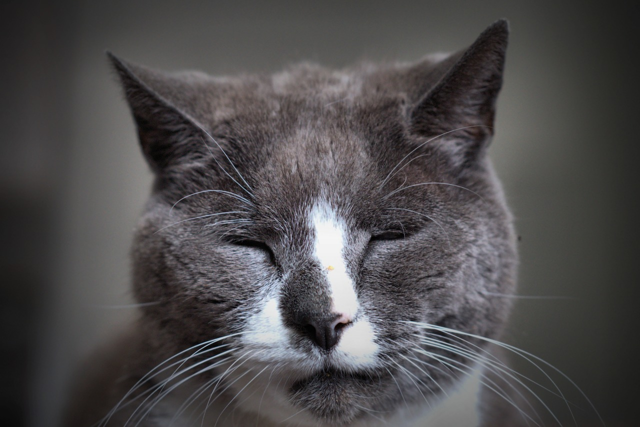 old gray cat with closed eyes