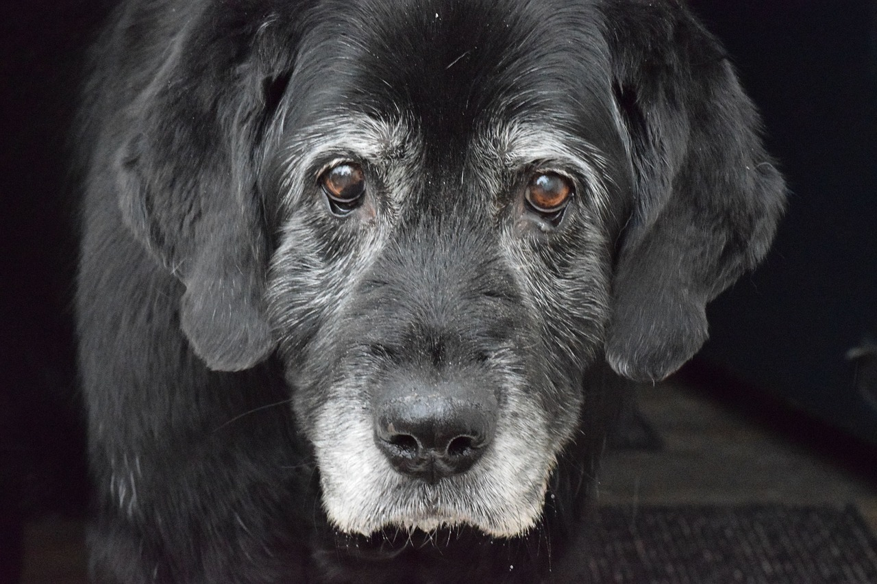 old gray dog