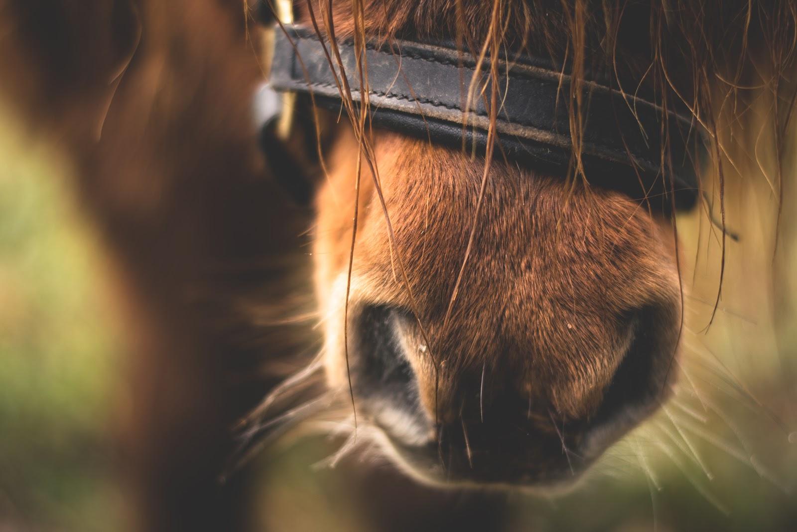 horse snout