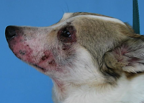 dog with dermatitis on face