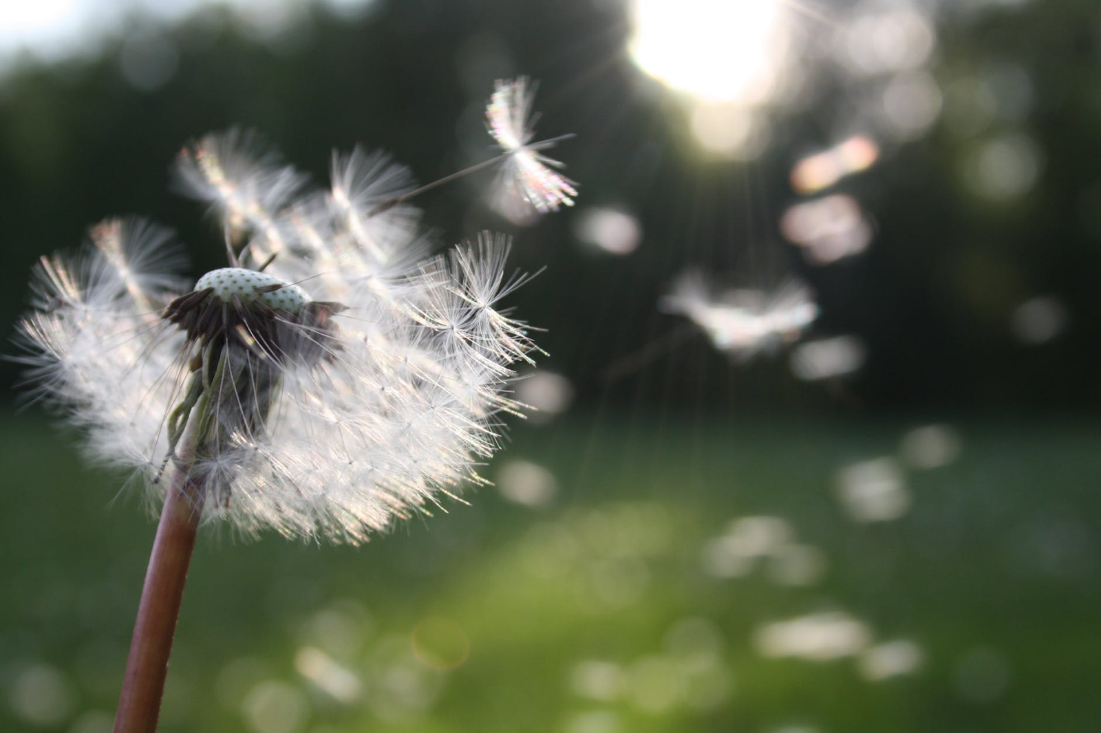 dandelion plant & seeds in air