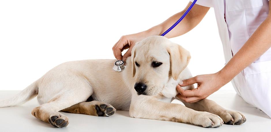 vet checking dogs heartbeat