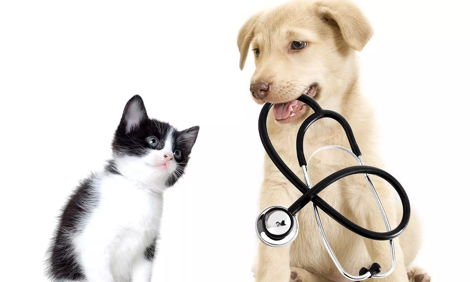 kitten & dog with stethoscope in mouth