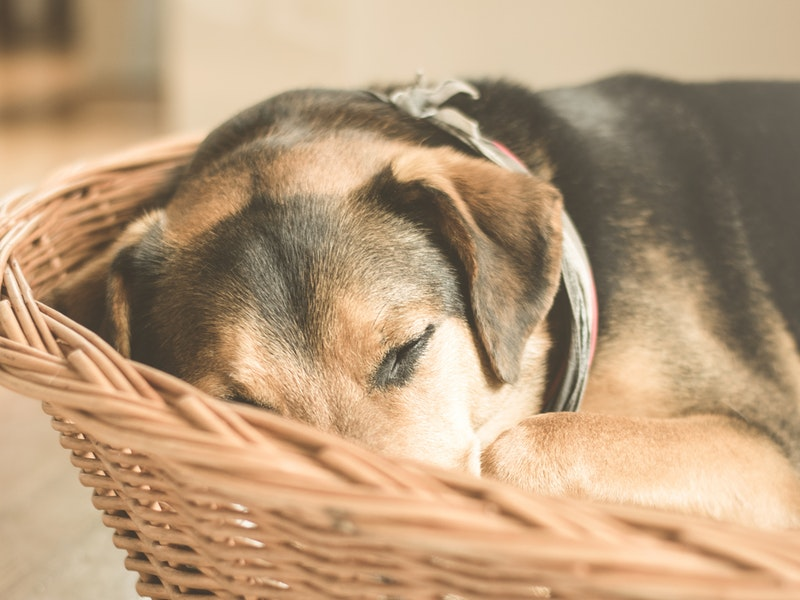 dog sleeping in wicker basket