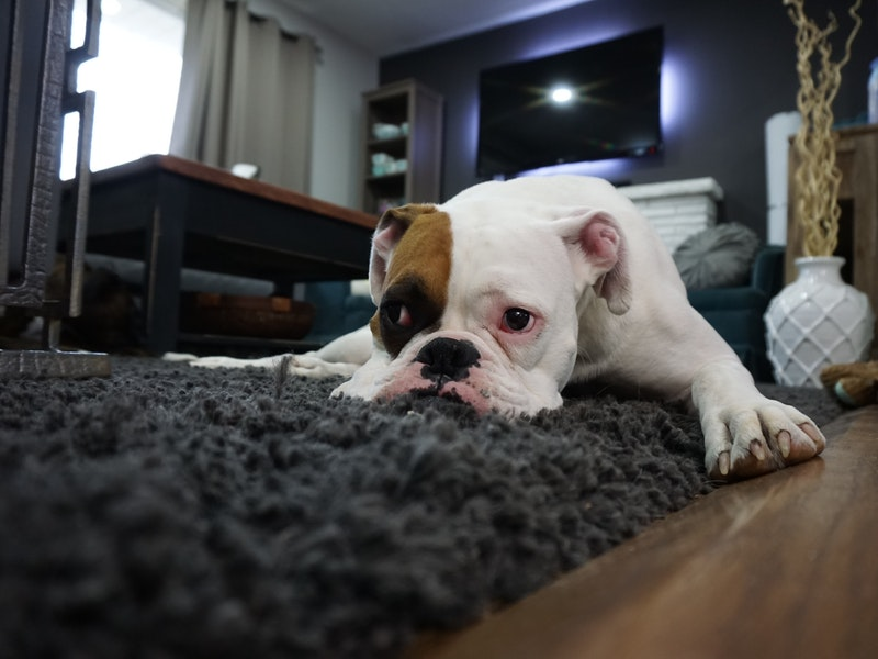 sad dog with head on rug