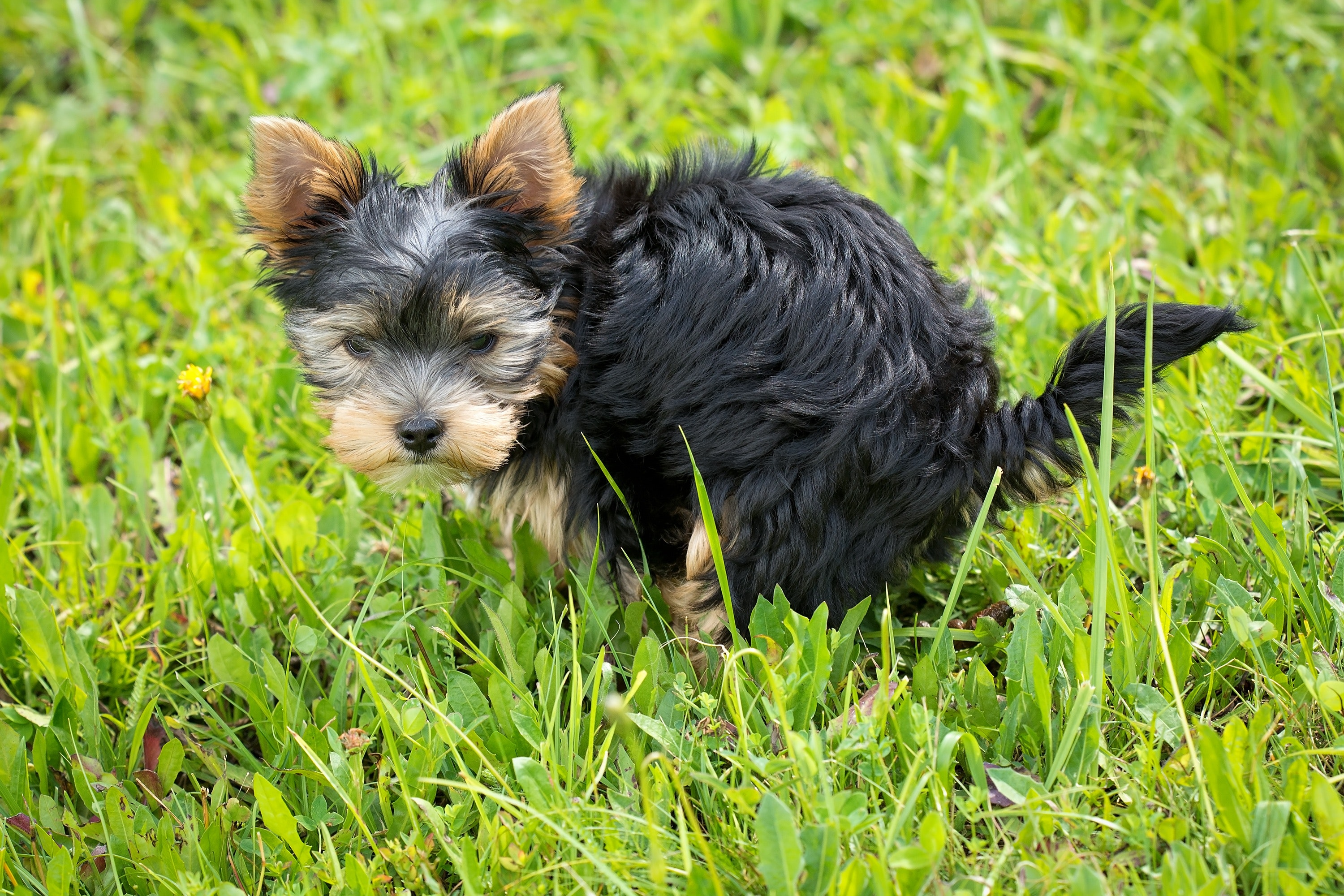Small black dog pooping in the grass