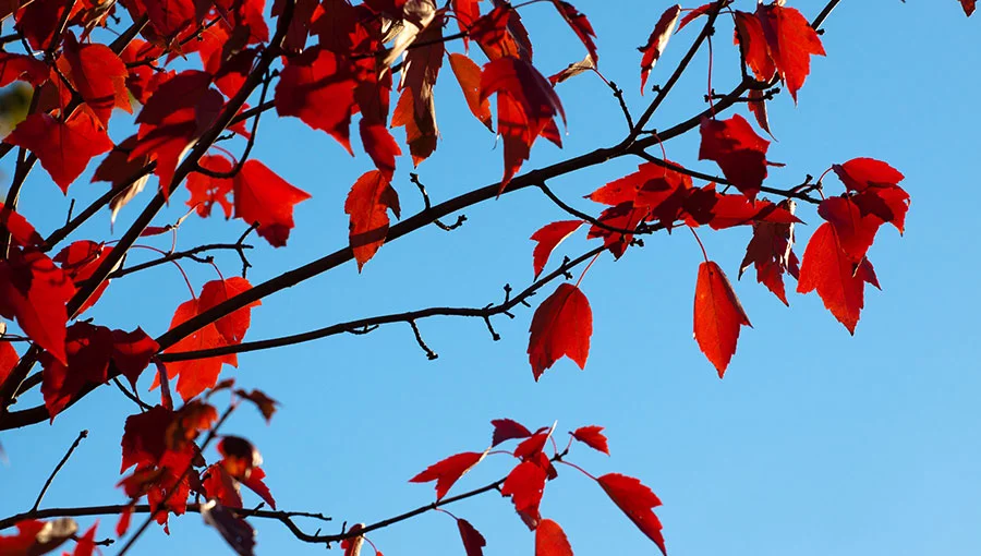 red autumn leaves of a tree in frick park in pittsburgh, pa against a blear blue sky