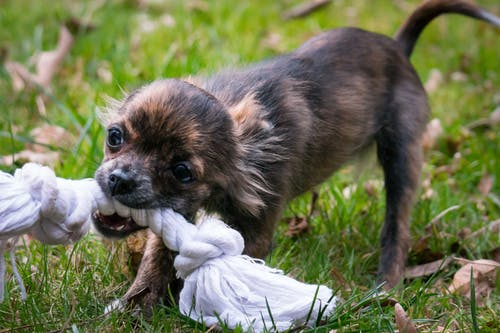 a tiny dog chews on a rope toy at carnegie dog park in pittsburgh, pa