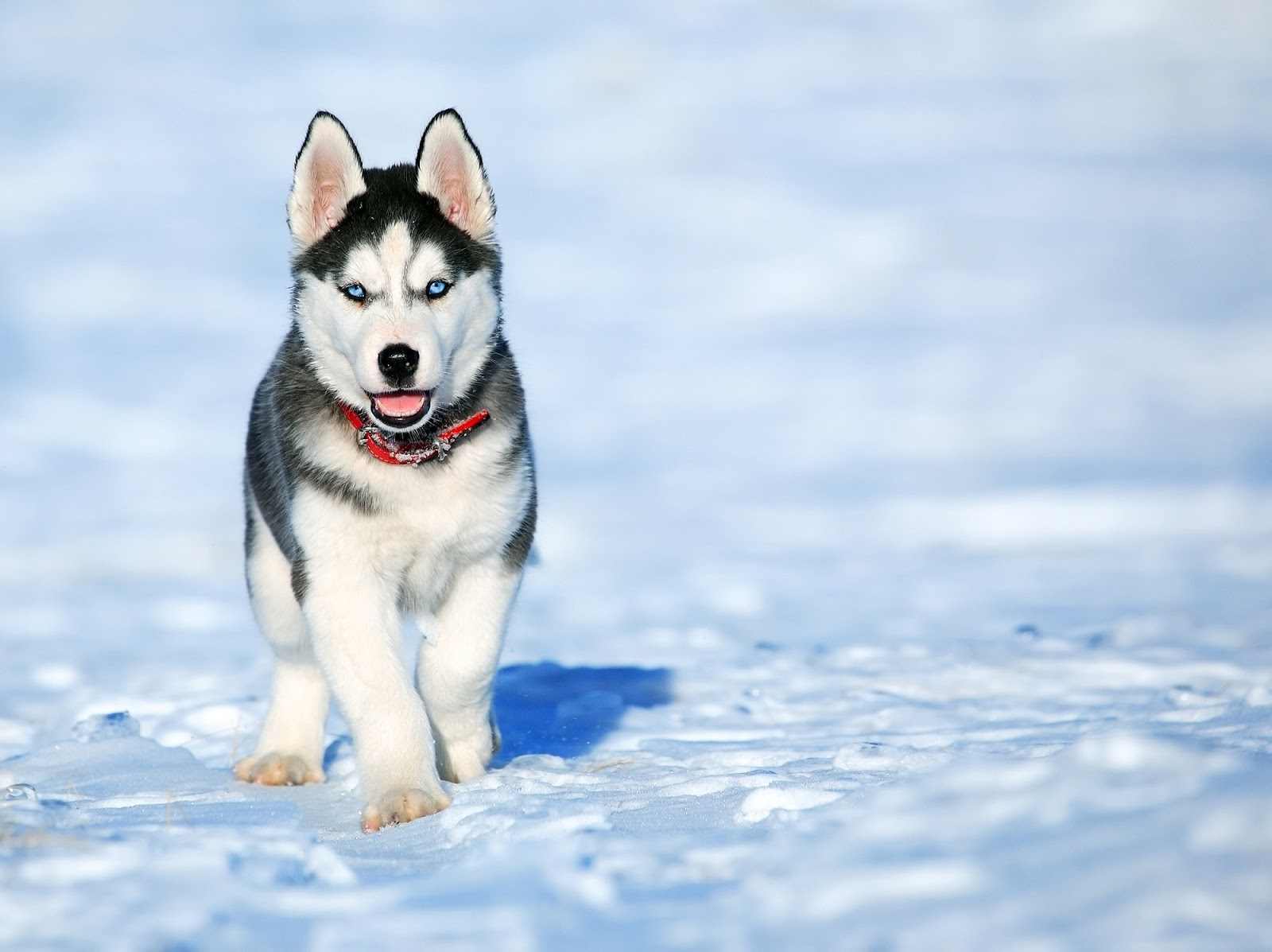 a happy husky frolics in the snow