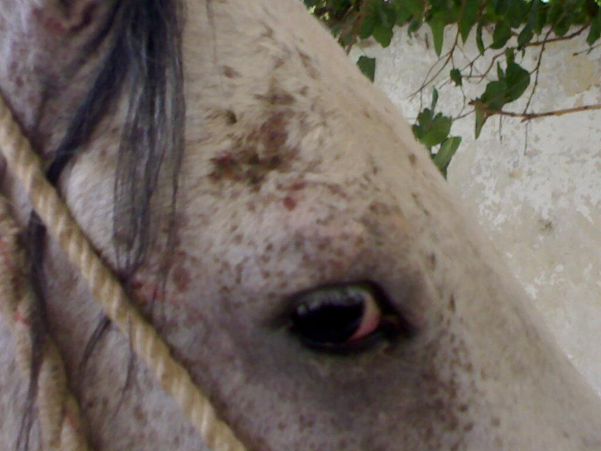 Mange lesions on a horse's face