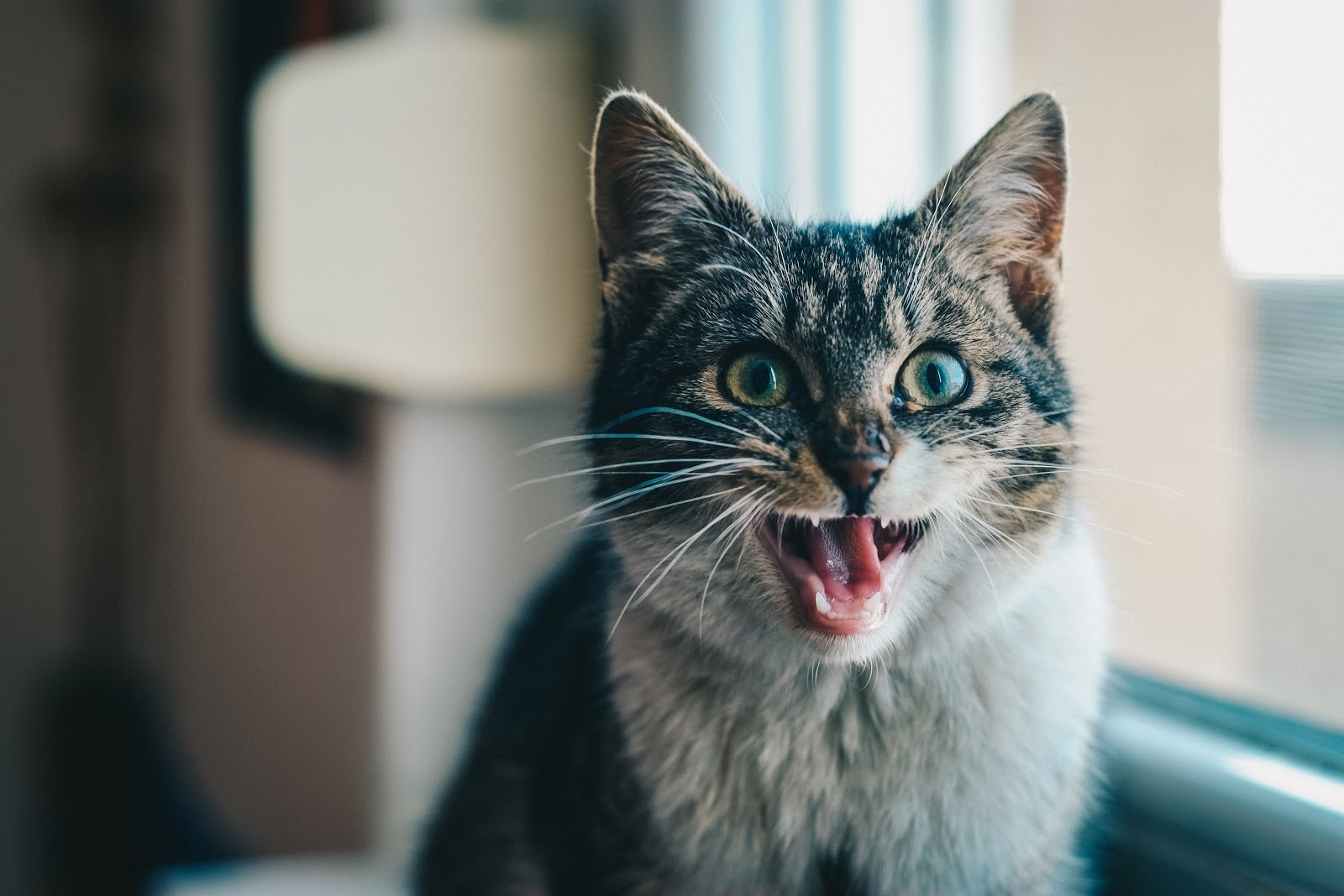 cat with mouth open
