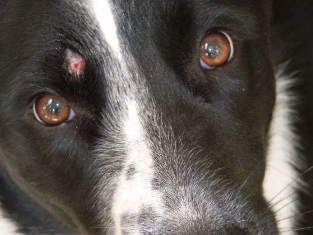 A dog with a ringworm patch near its eye