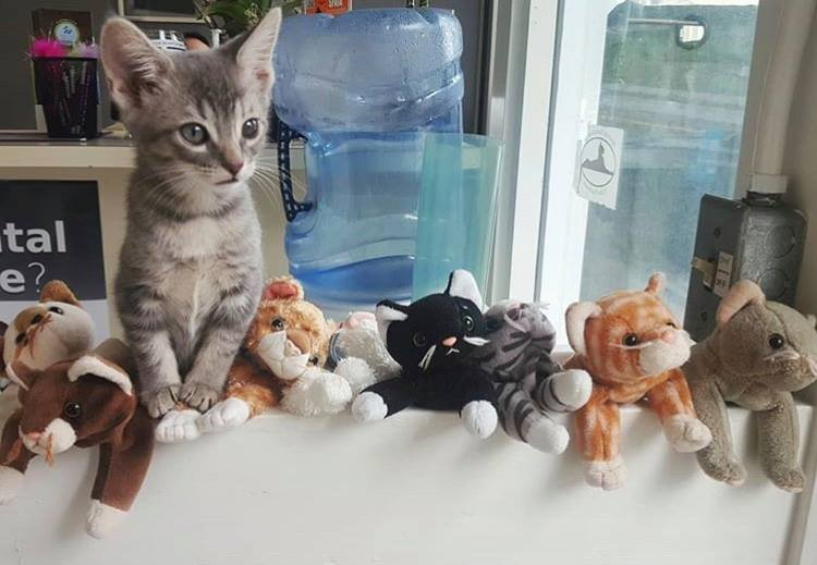 A kitten hanging out with the cat plushes at Especially Cats Veterinary Hospital