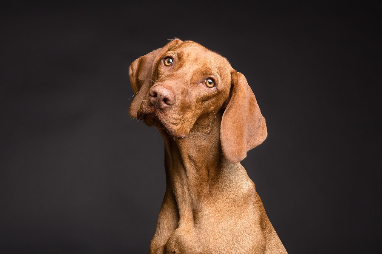a copper colored dog against a black background tilts its head