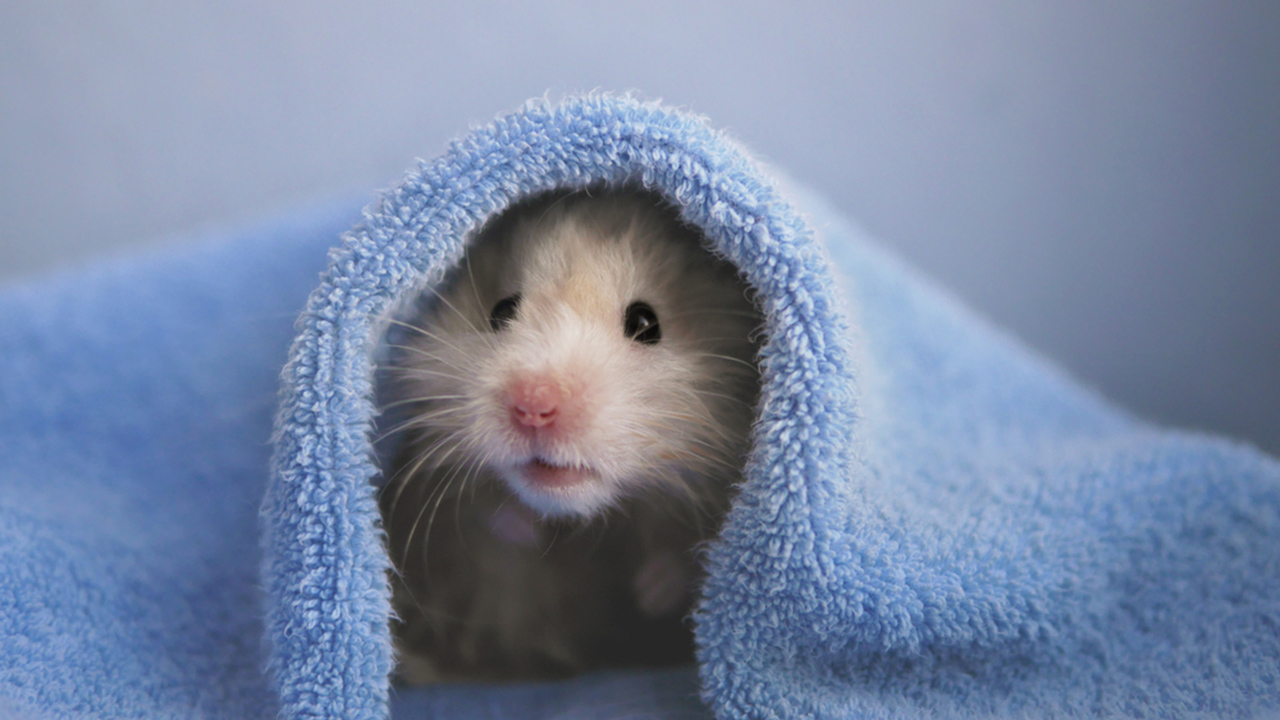 hamster under a towel