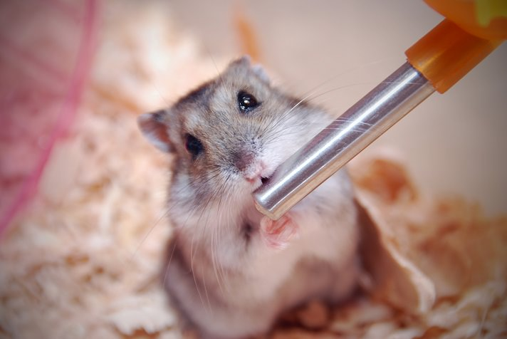 The Ultimate Guide to Hamster Hair Loss - Fauna Care