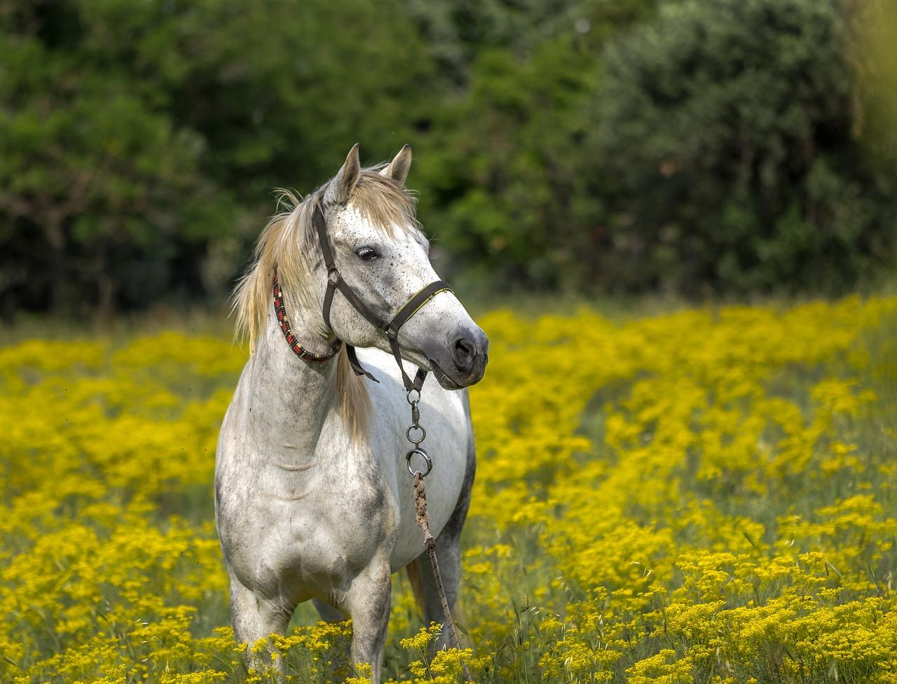 grey horse in a field