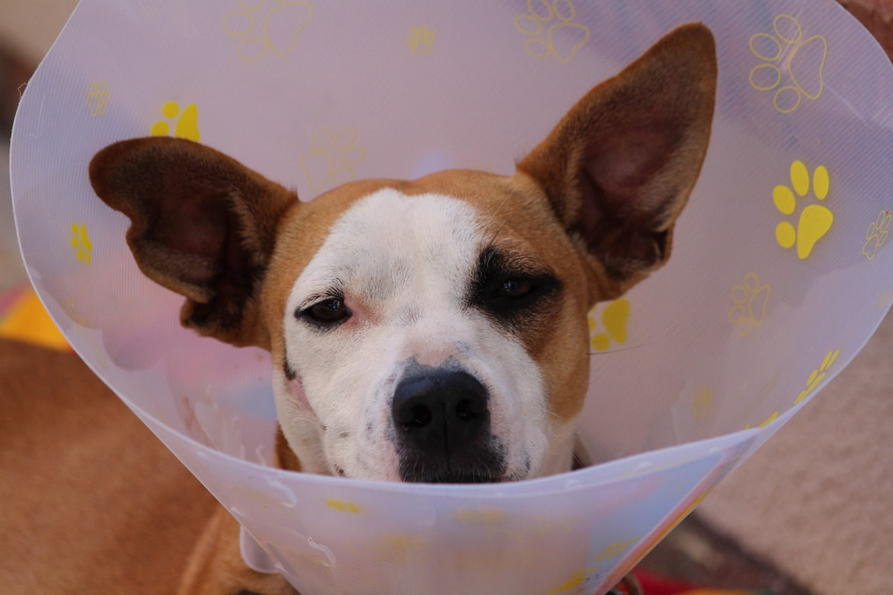 a brown and white dog in a post-op cone