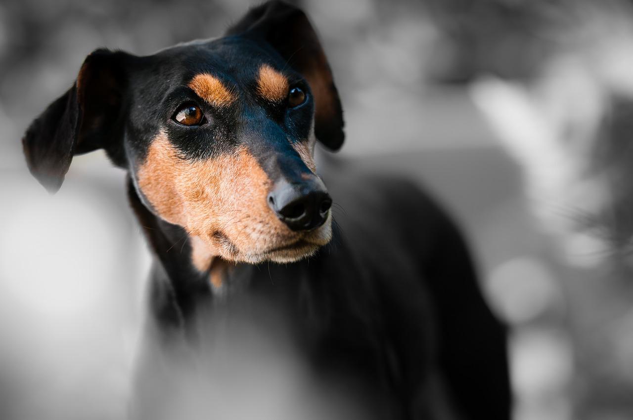 black and tan dog