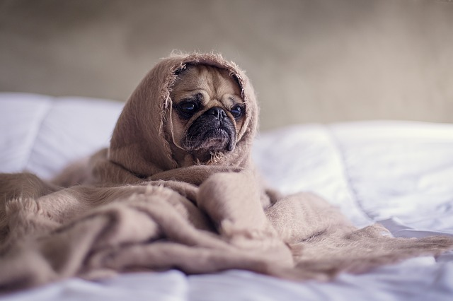 Your dog may not feel up to snuff as he recovers from his wound. Be mindful of his sleeping, eating, and bathroom habits as he heals. If anything seems unusual, ask your vet to examine him.