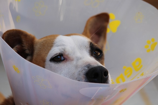 If your dog cannot keep his tongue away from his boo-boo, an Elizabethan collar is your best bet. Embarrassment lasts for a while, but a poorly healed wound lasts forever.