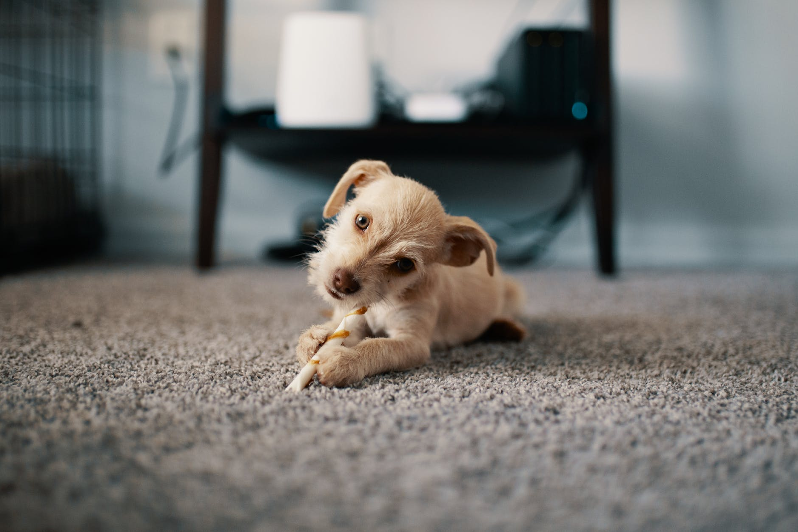 dog chewing on a bone