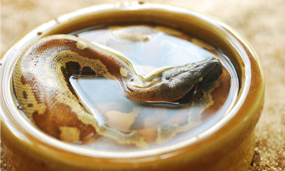 snake bathing in water dish