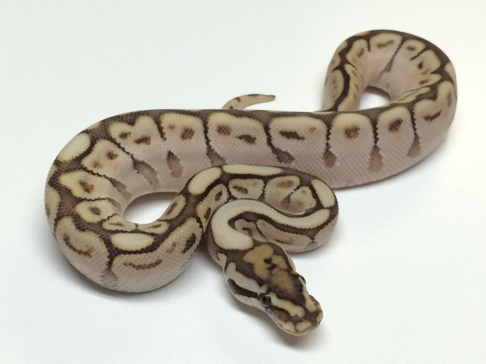a spider ball python