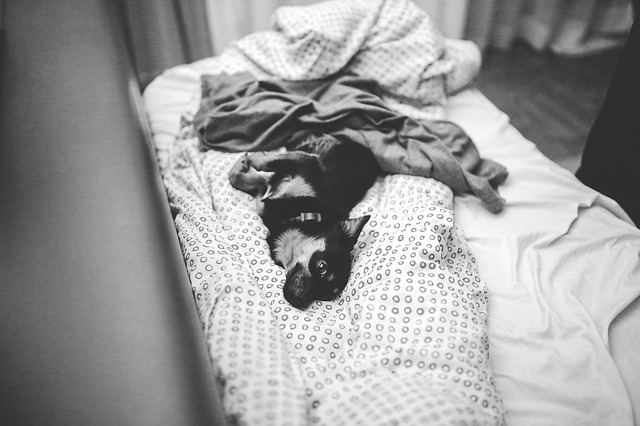a chihuahua curled up on a cozy pile of blankets while his owner is away