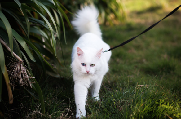 A fluffy white cat is led by an owner outside of the frame down a grassy path on a walk