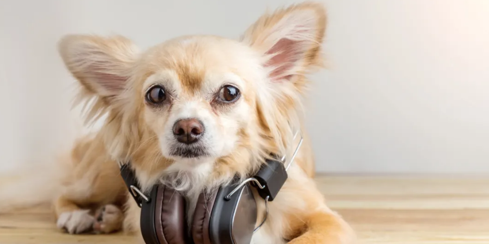 A small beige dog with big ears and a pair of headphones around her neck