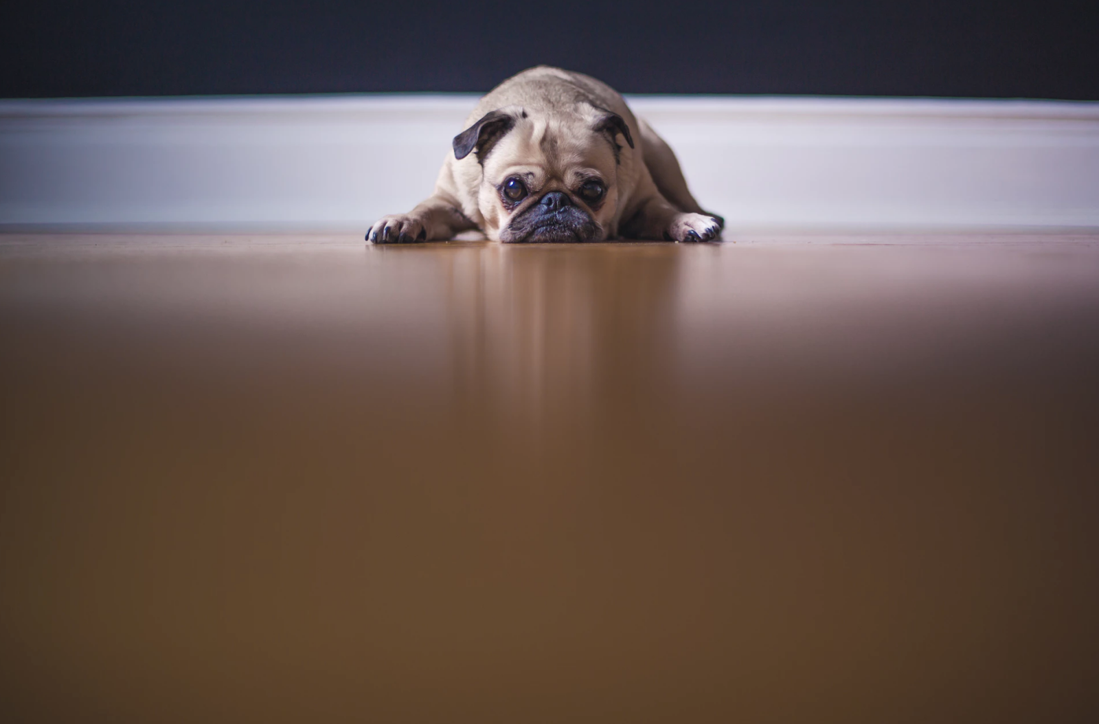a tan pug lays with her head on the floor, sad because she has been left home alone