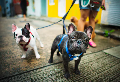 Two french bulldogs -- one black and one white with black patches -- pull at their leashes on a walk with their owner.