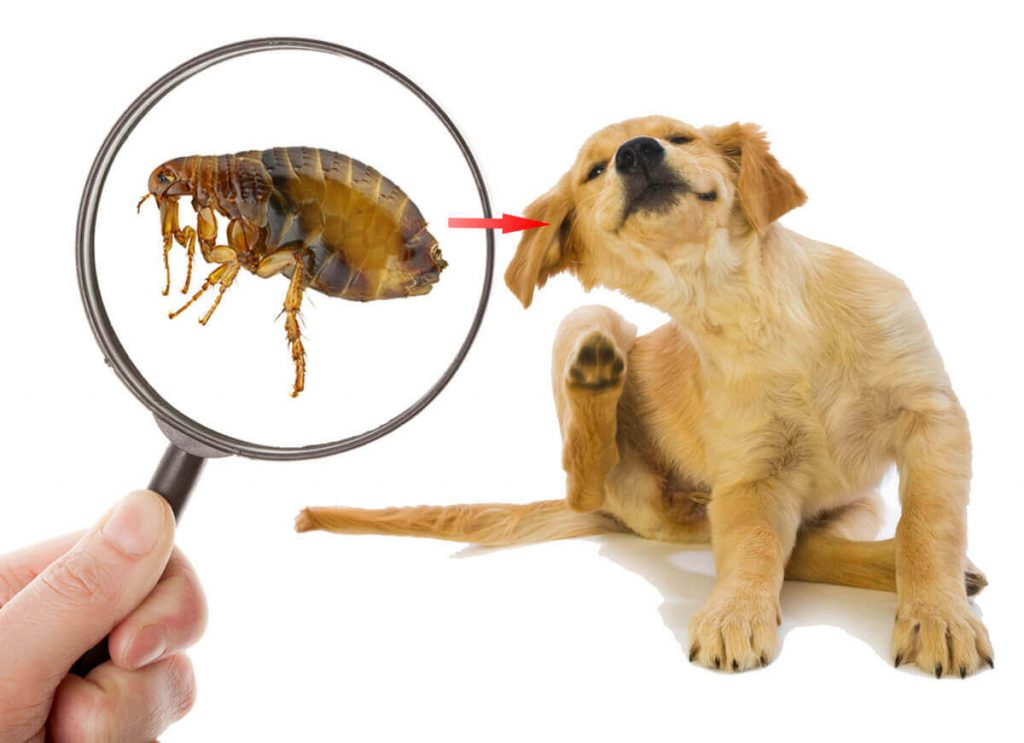 A graphic that shows a lab puppy scratching his ear and a human holding a magnifying glass over a flea, indicating that fleas are a common cause of acne and other skin conditions in dogs.
